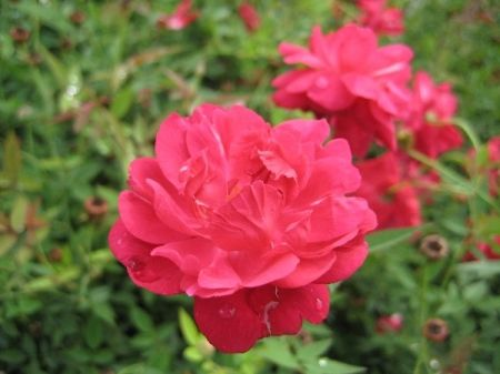 Cracker Red Rose