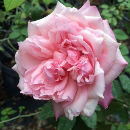 Maman Cochet Pink Climbing Climber Roses Rose Petals Nursery