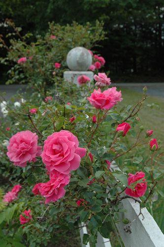 Bess Lovett Climber Roses Rose Petals Nursery