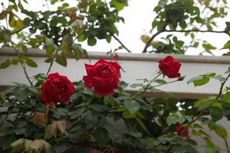 foto de Rhode Island Red Climber Roses Rose Petals Nursery