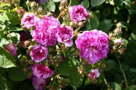 Russell's Cottage Rose
